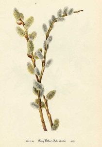 Vintage pussy willow