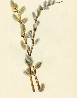 Vintage illustration; pussy willow