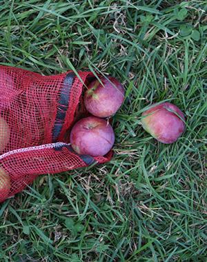 Apple picking at Fishkill Farms